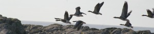 The sight and sound of geese in flight may surprise and delight you as you disturb them on their shore grazing.