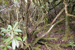 Beneath the canopy of Rhododendron ponticum is a dead floor where nothing else can flourish.