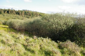 A stand of shrubby willow survives the encroachment of Rhododendron, and provides some shelter for sheep in harsh weather.
