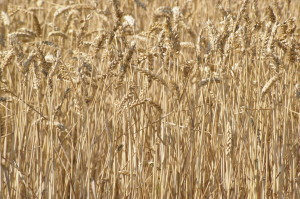 'Christ's is the seed; Christ's is the harvest. May we be brought into God's granary.'