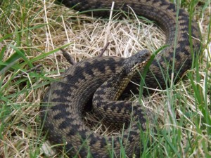 An adder warms itself in the sun (photo Dominic Markus).